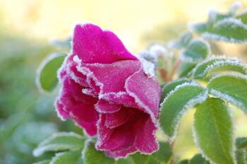 Frossen rose